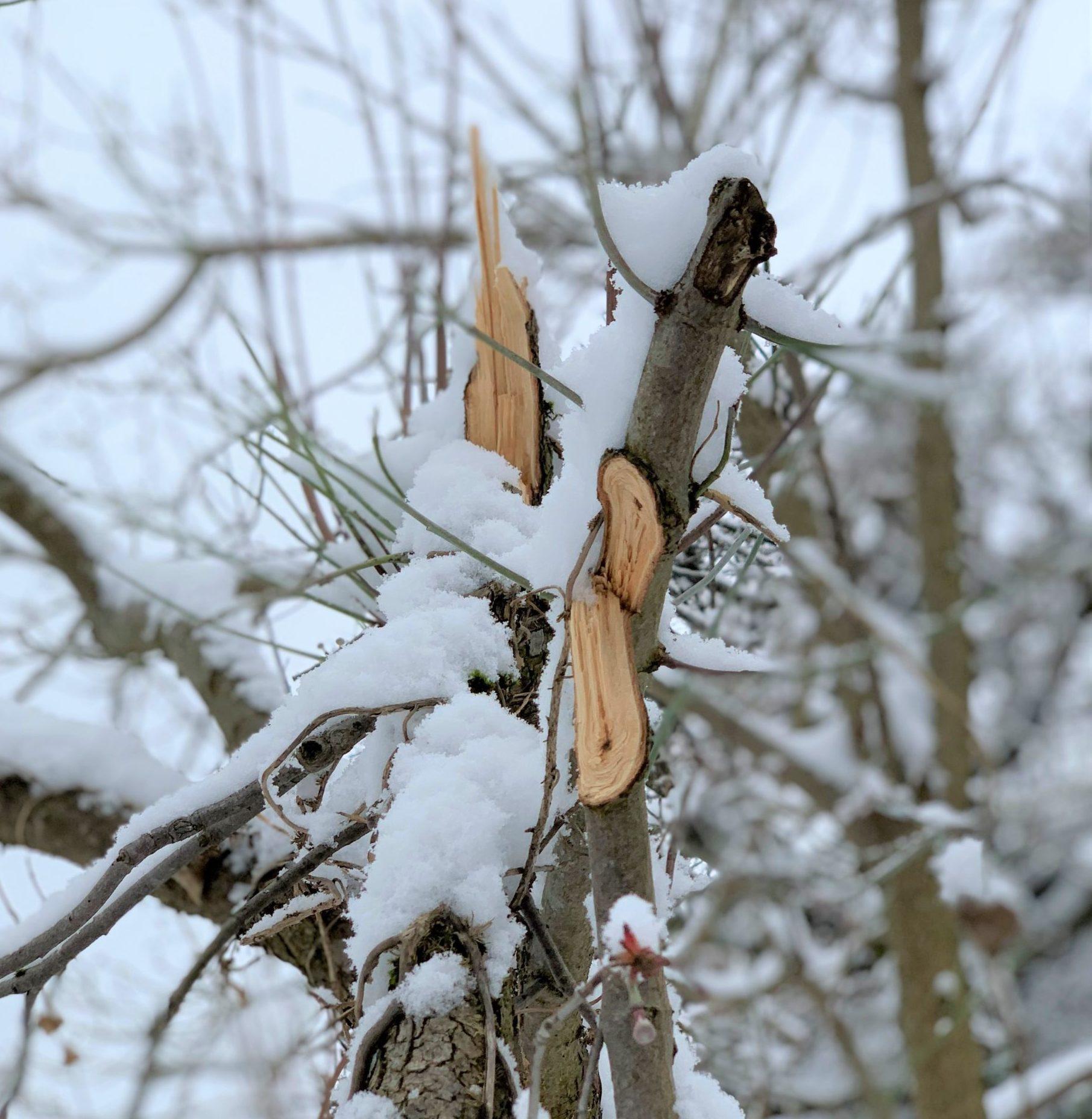 Schneelastschäden an den Bäumen