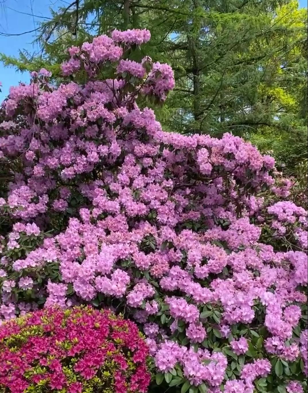 50 Jahre alter Rhododendronbaum