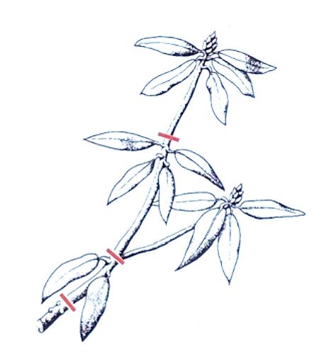 Rhododendron richtig schneiden